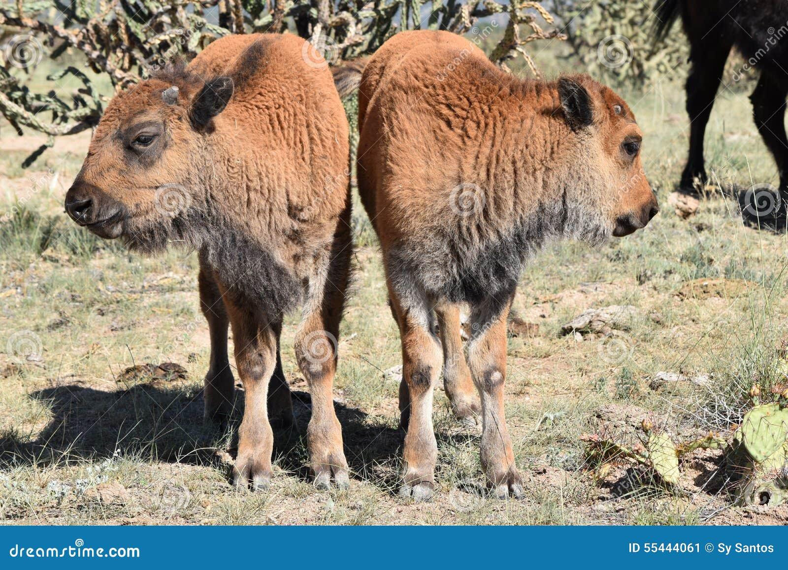 Two 2 bison buffalo calves opposite