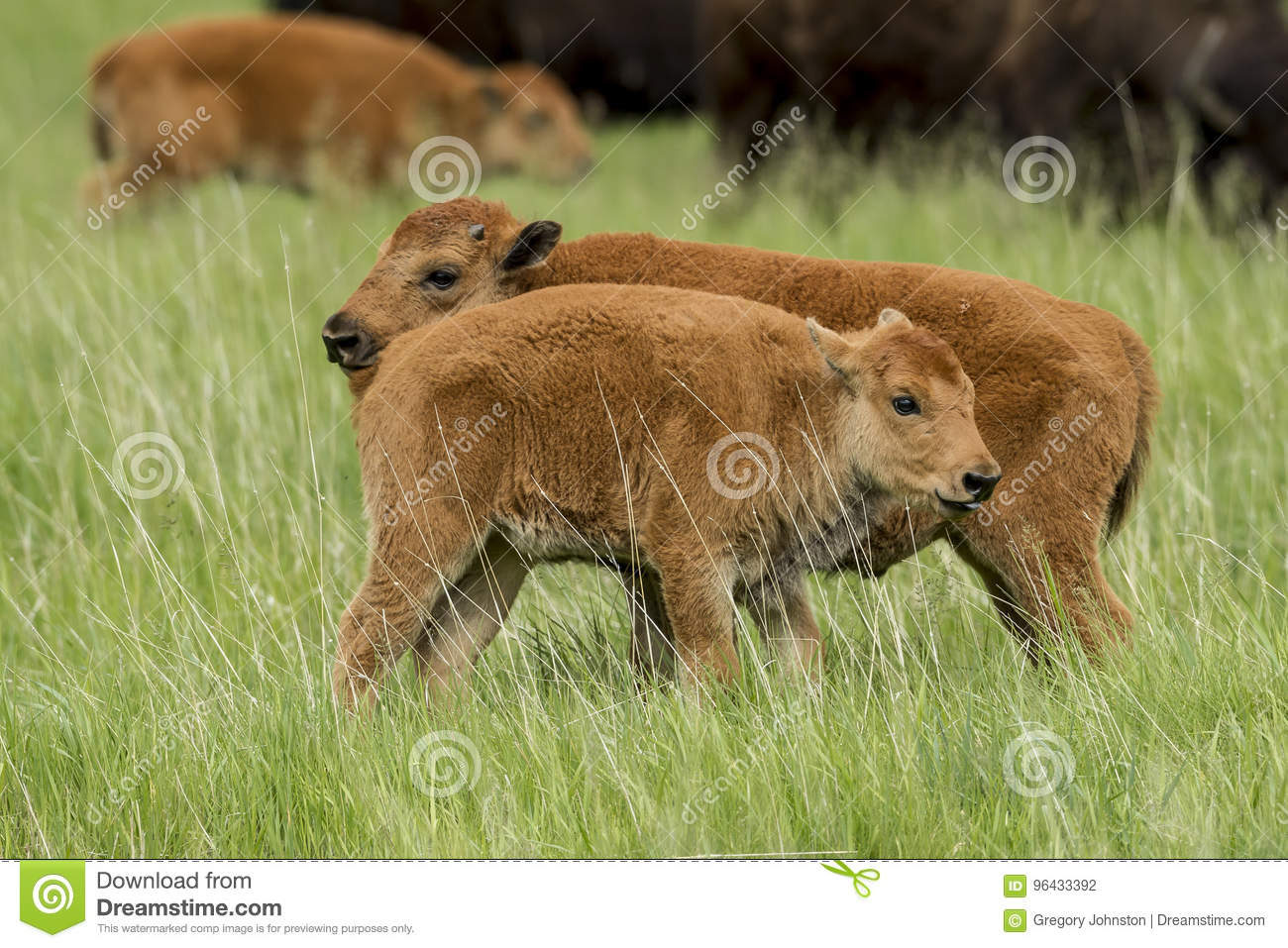 Two bison calves side by side.