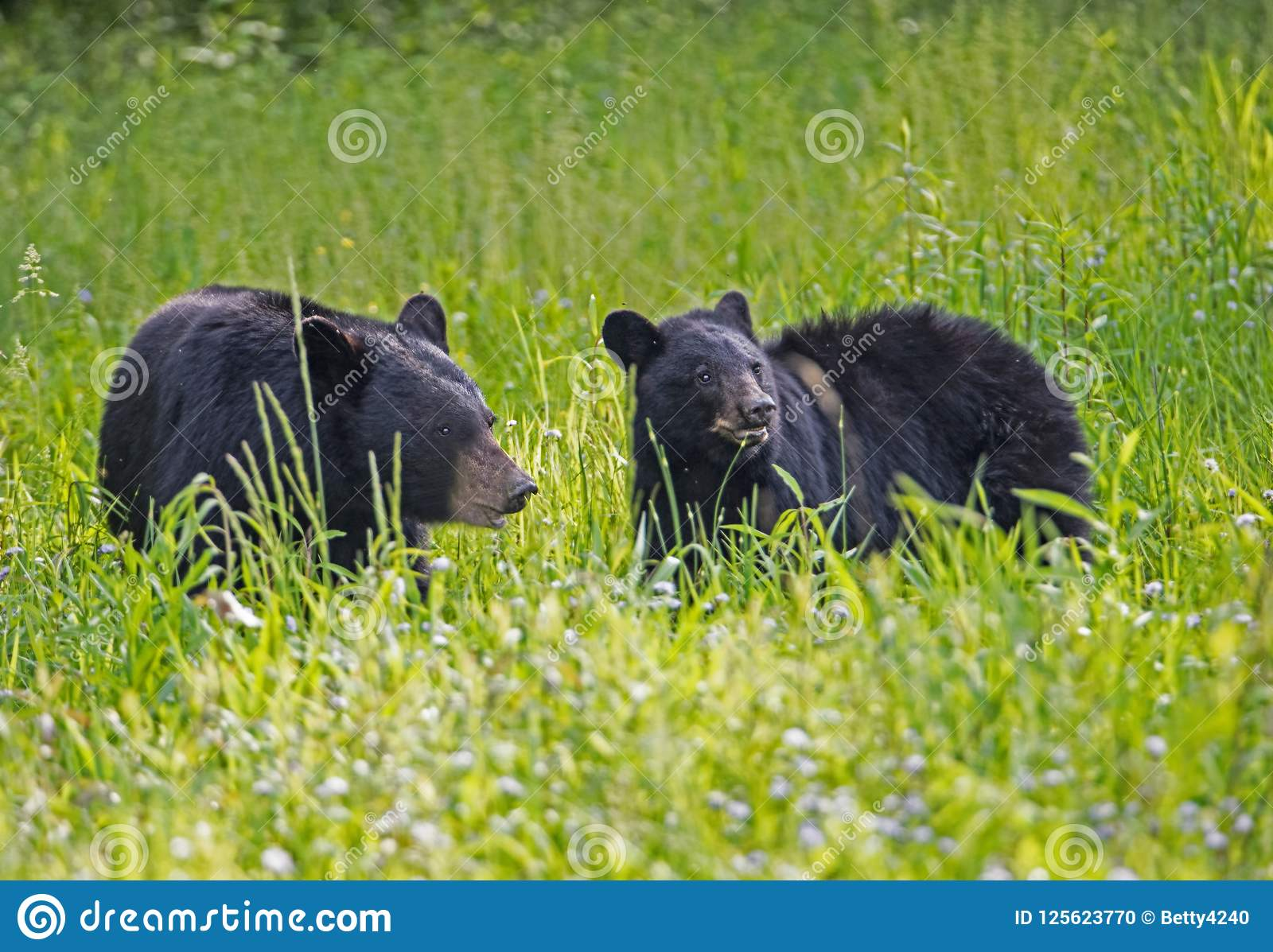Two Black Bears Eating Green Grass In A Field Of Greenery. Stock Photo - Image of cove, female ...