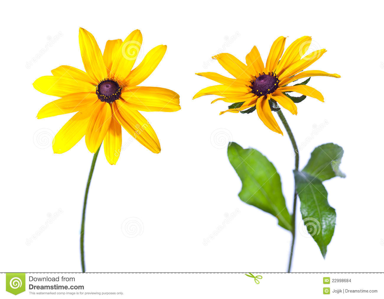 Two Black Eyed Susan Stock Photo Image Of Betty Head