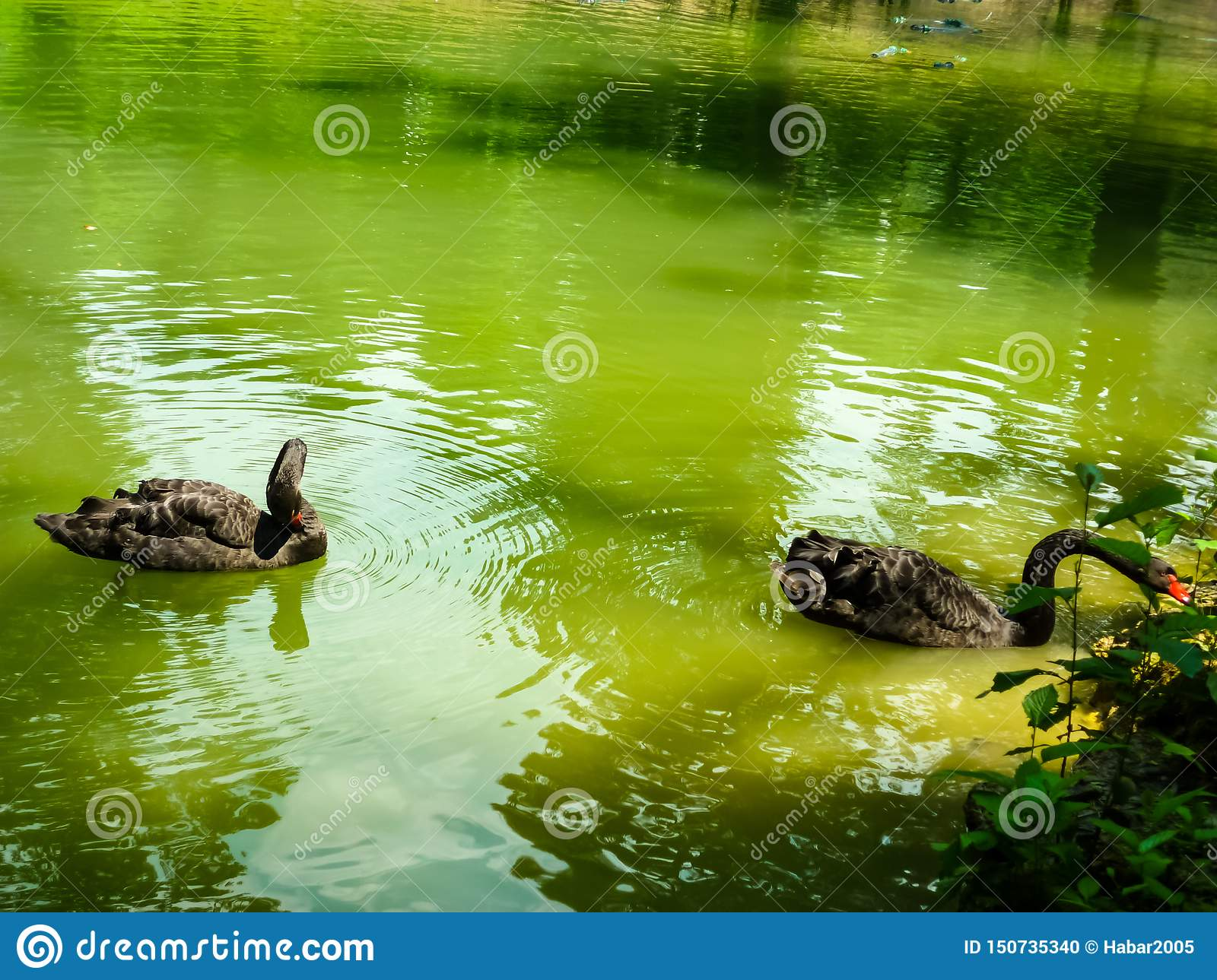 Two black swans float in the lake. Love couple of black swans. Black swans mating dance.