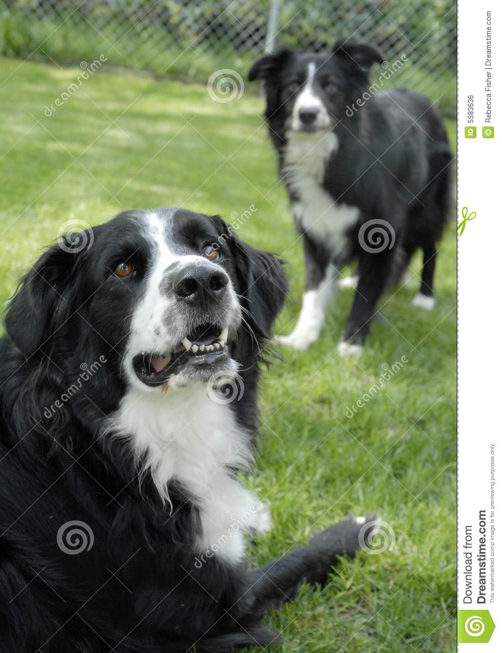Similar stock images of two black and white border collie dogs