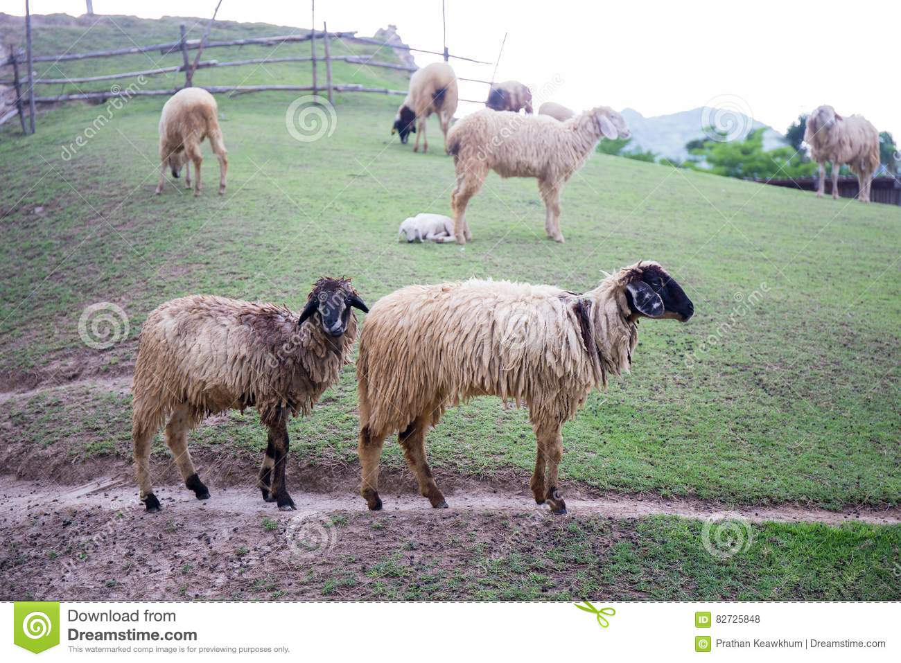Two blacknose sheeps on green grass field and sheeps background