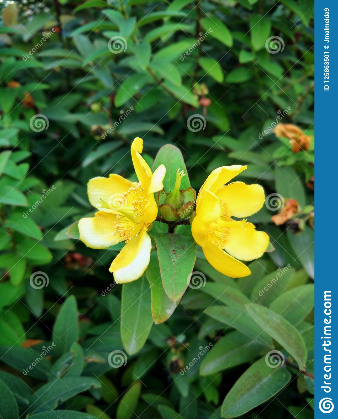 Two blooming yellow flower on a green background of leaves