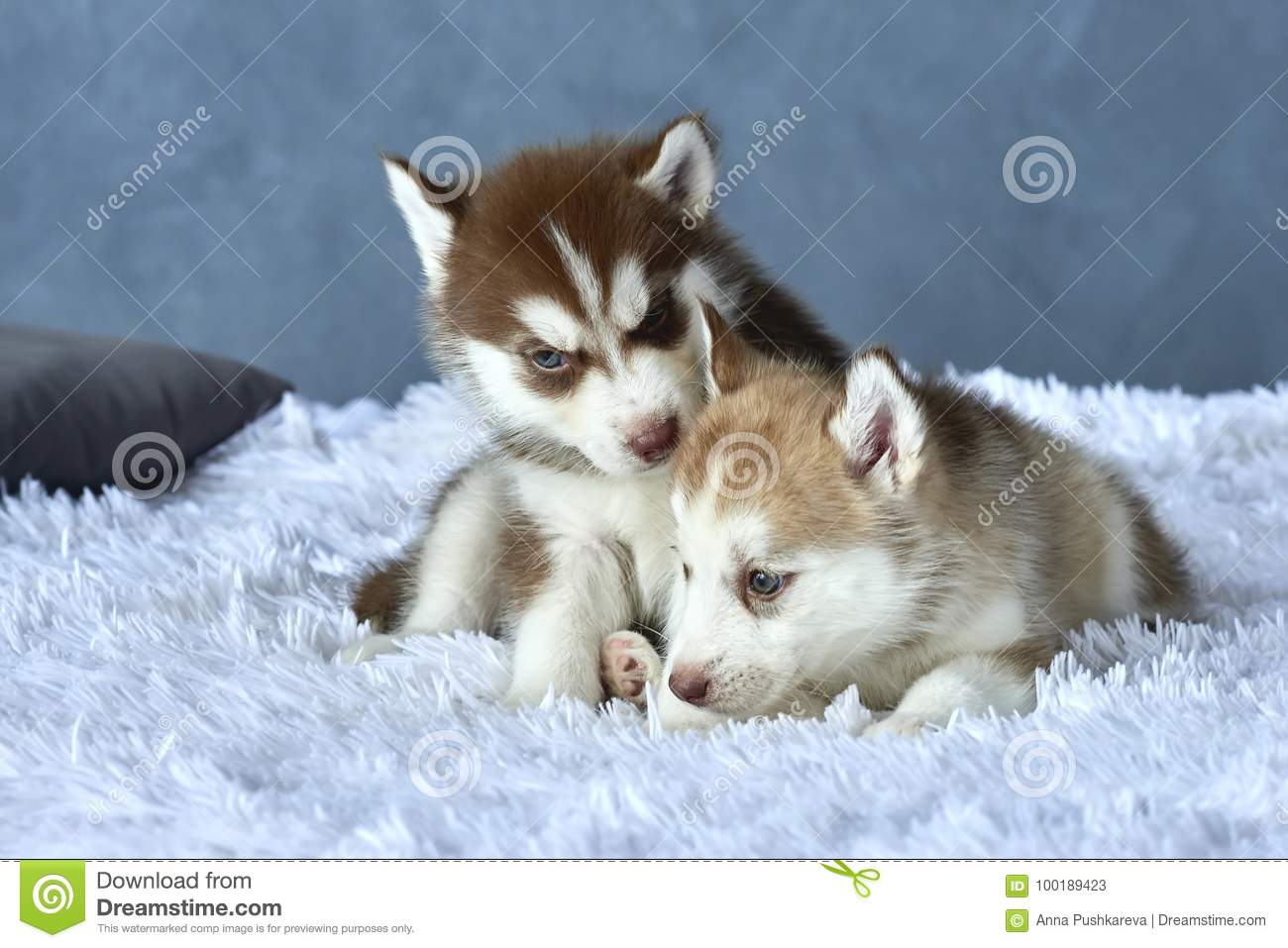 Two Blue Eyed Copper And Light Red Husky Puppies Lying On White Blanket Stock Image Image Of Brown Floor 100189423