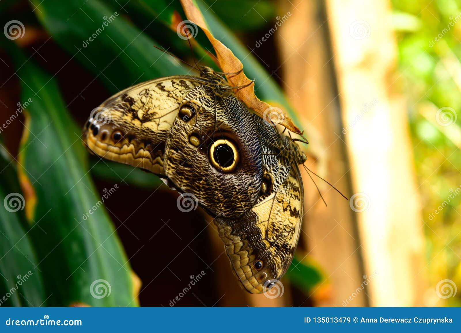 Two Blue Morpho, Morpho peleides, big butterfly sitting green leaf