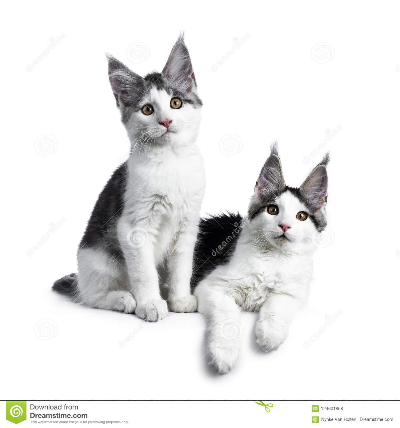 Two Blue Tabby High White Harlequin Maine Coon Cat On White Stock Photo Image Of Black Domestic 124601858