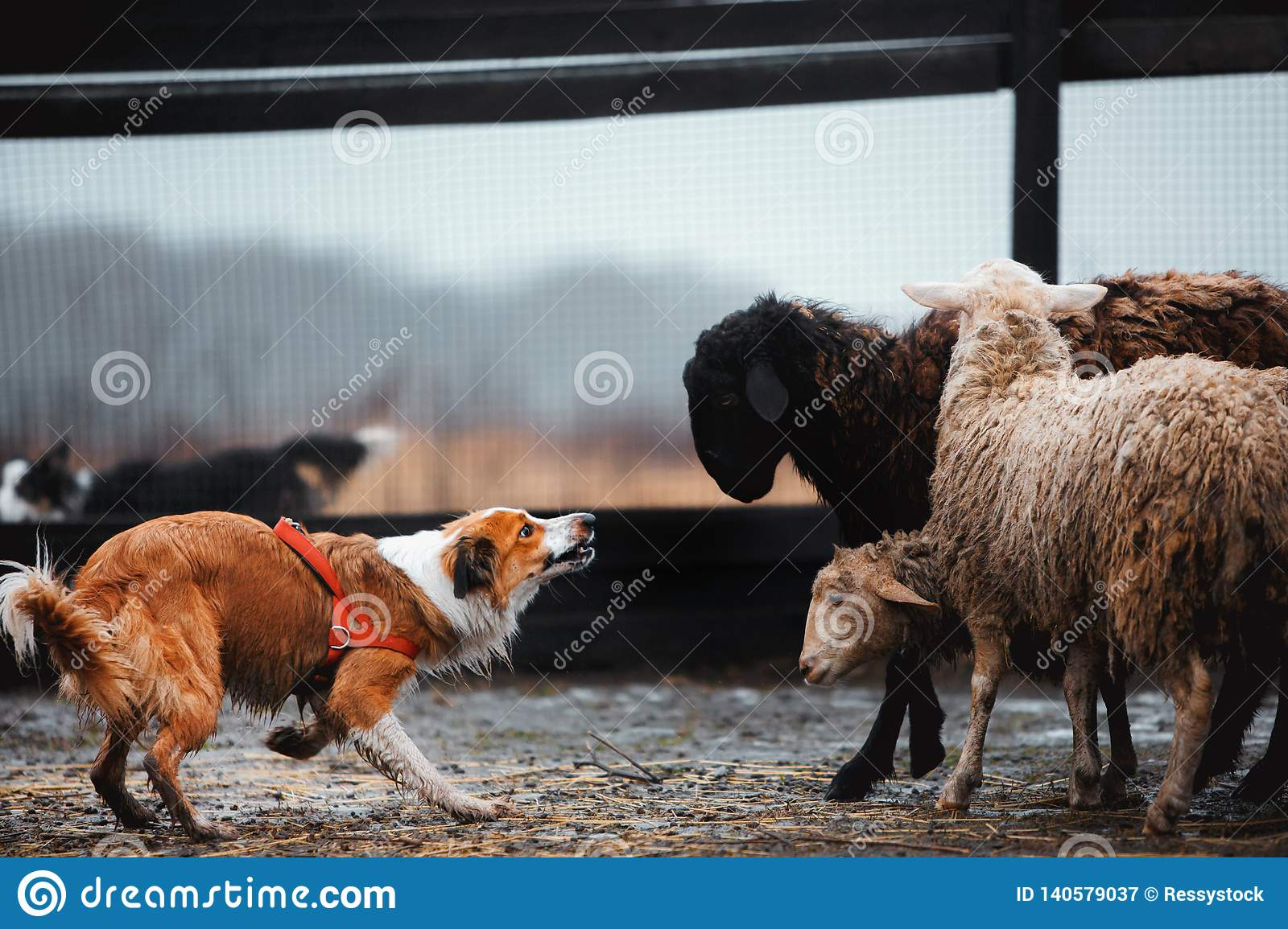 Two border collie dog red-haired black and white grazing sheep in the paddock. raw dog. sports discipline. concept. dog