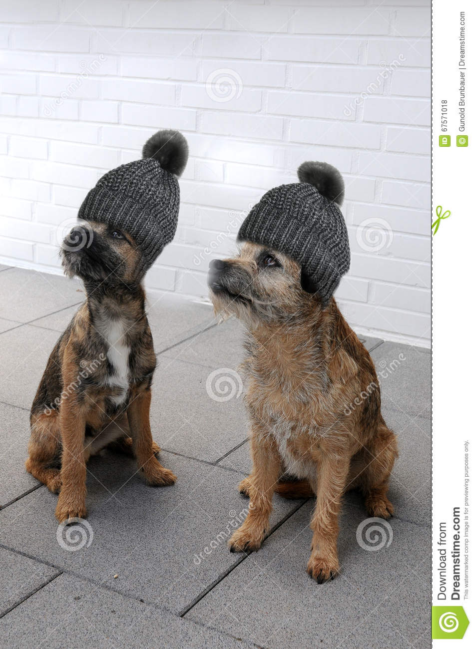 31d76c3de08 Two border terrier stock photo. Image of pedigree