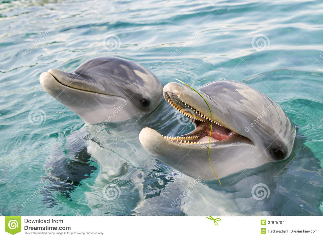 Two bottle-nosed dolphins