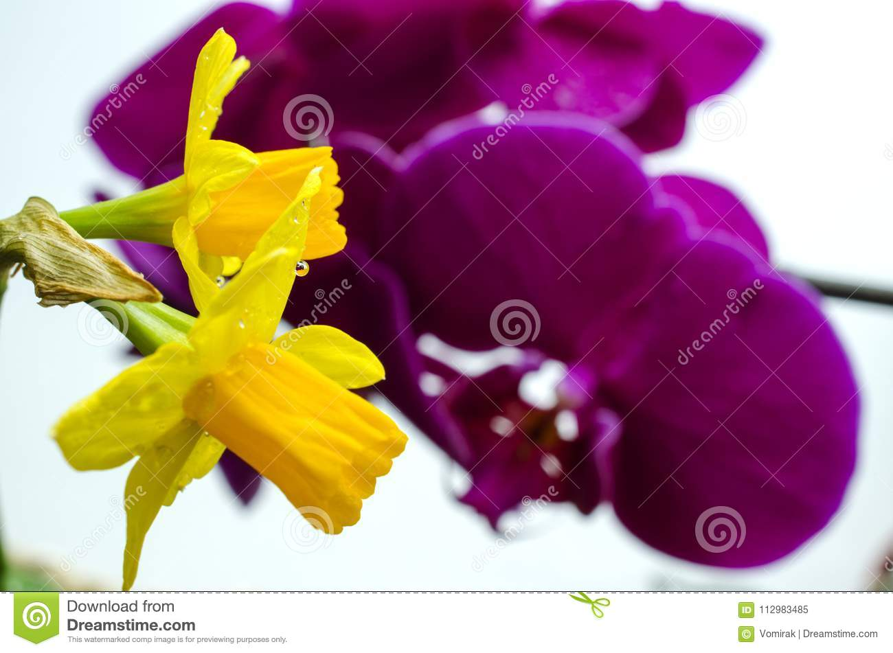 Two bright yellow flowers of daffodils on a background of purple orchids
