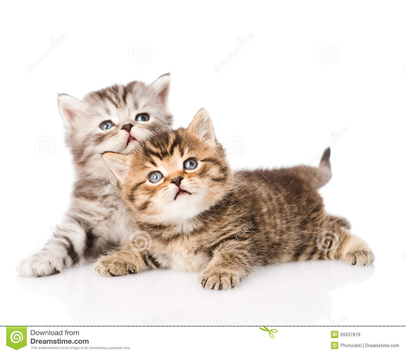 Download Two British Kittens Looking Up. Isolated On White Background Stock Image - Image of pedigreed, mammal: 55537879