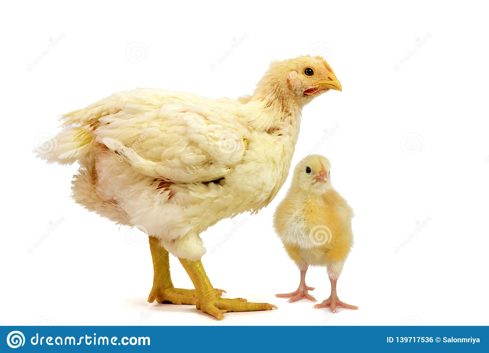 Two Broiler chicken 2 days and 21 days old isolated on white