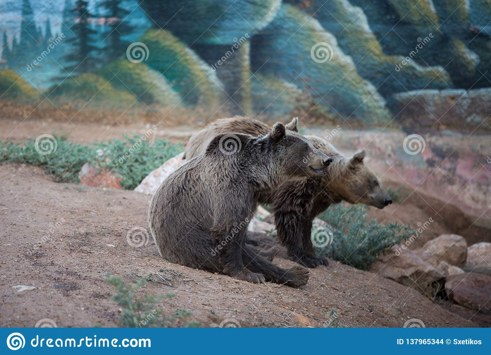 Two brown bears at the zoo