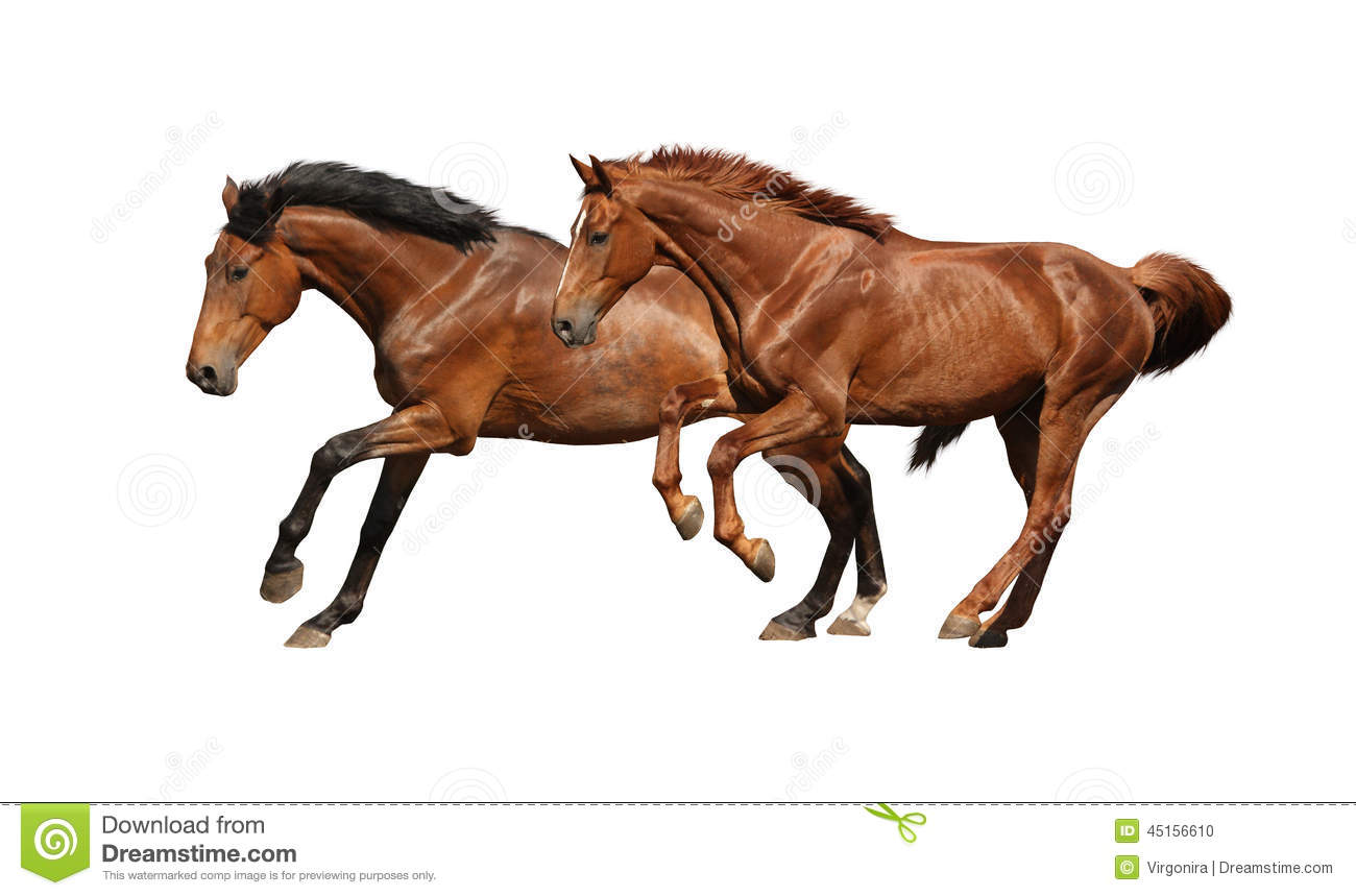 Two Brown Horses Running Fast Isolated On White Stock ...