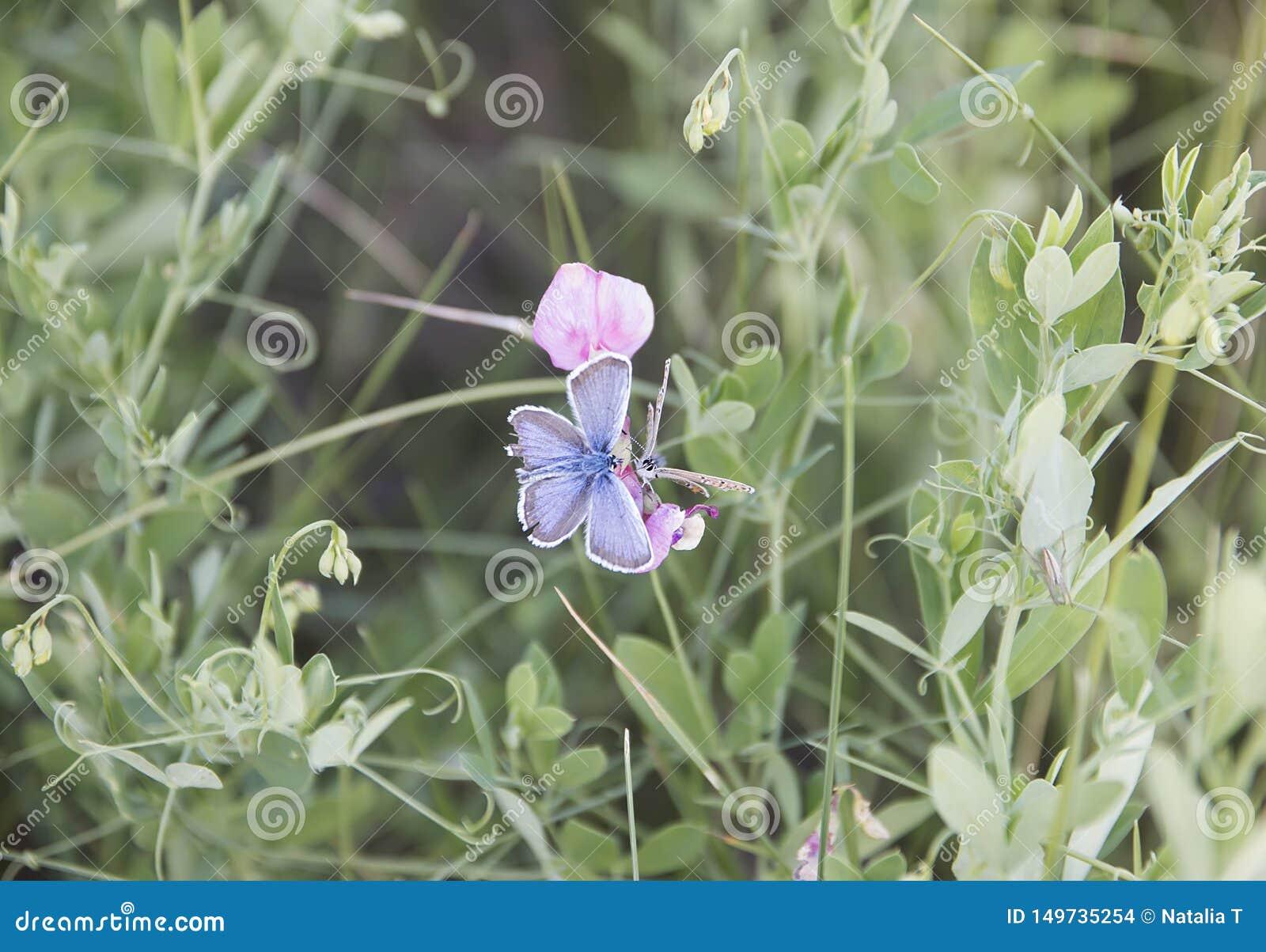 Two butterflies, sitting on a flower