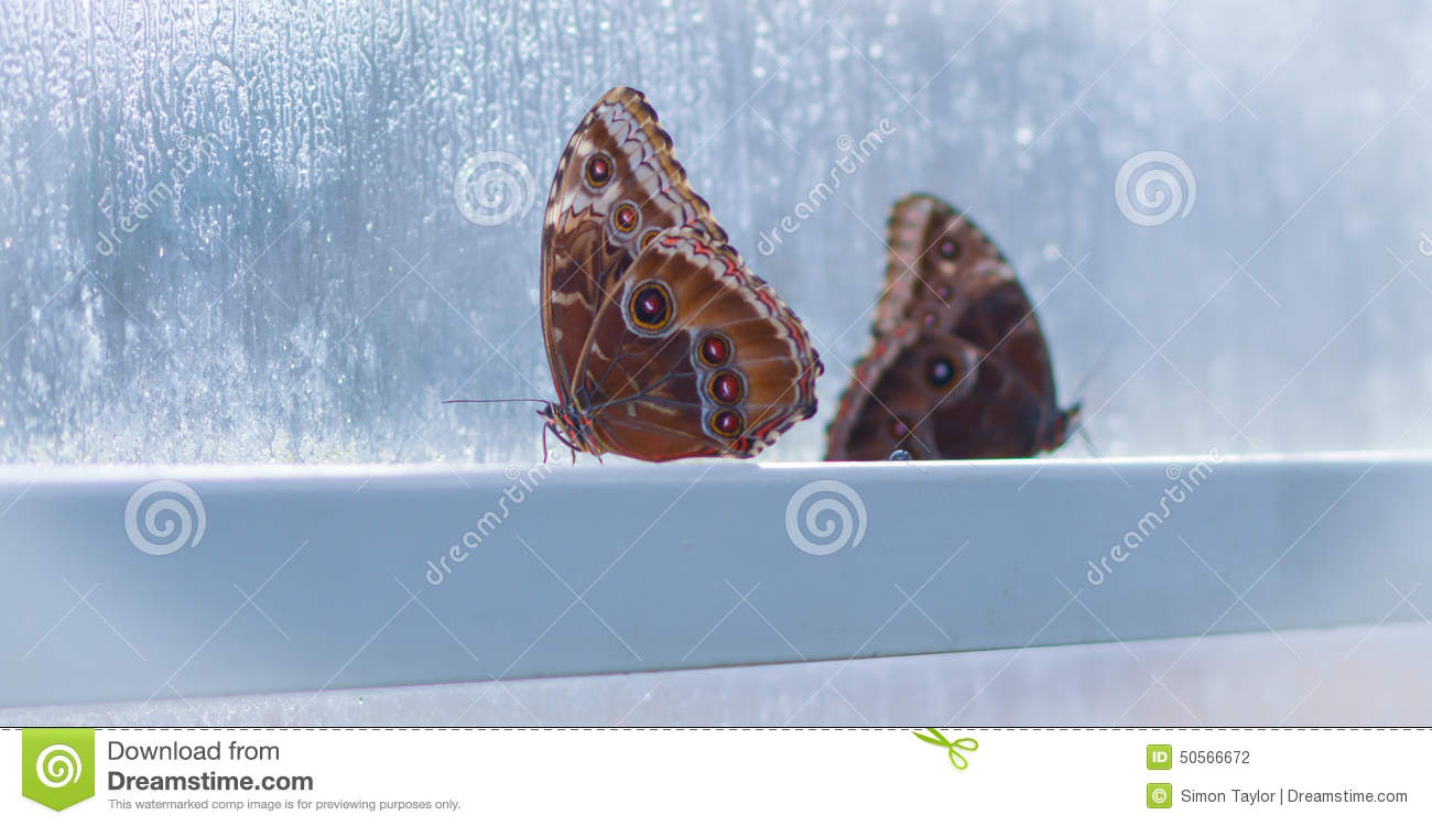 Two butterflies in window