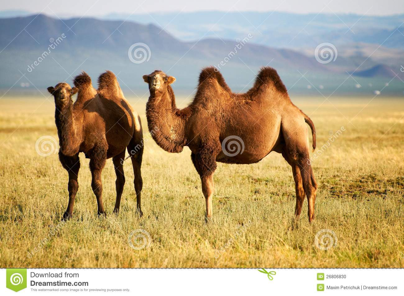 Two camel in mongolia