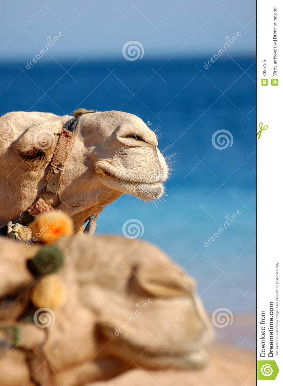 Two camels face