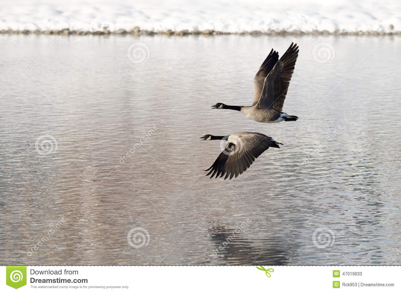 Two Canada Geese Taking to Flight from a Winter Lake