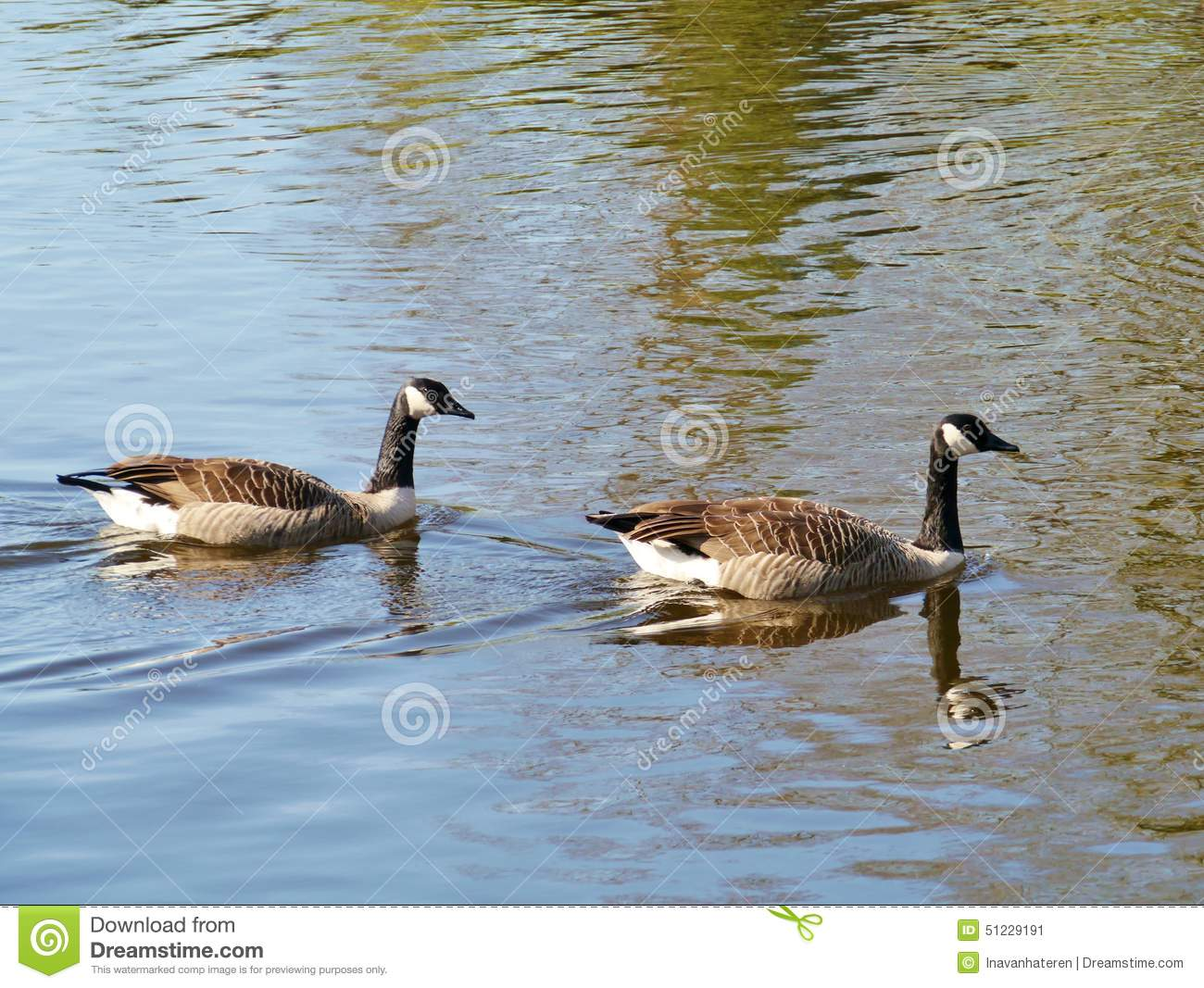 Two Canadian geese swimming in a pool