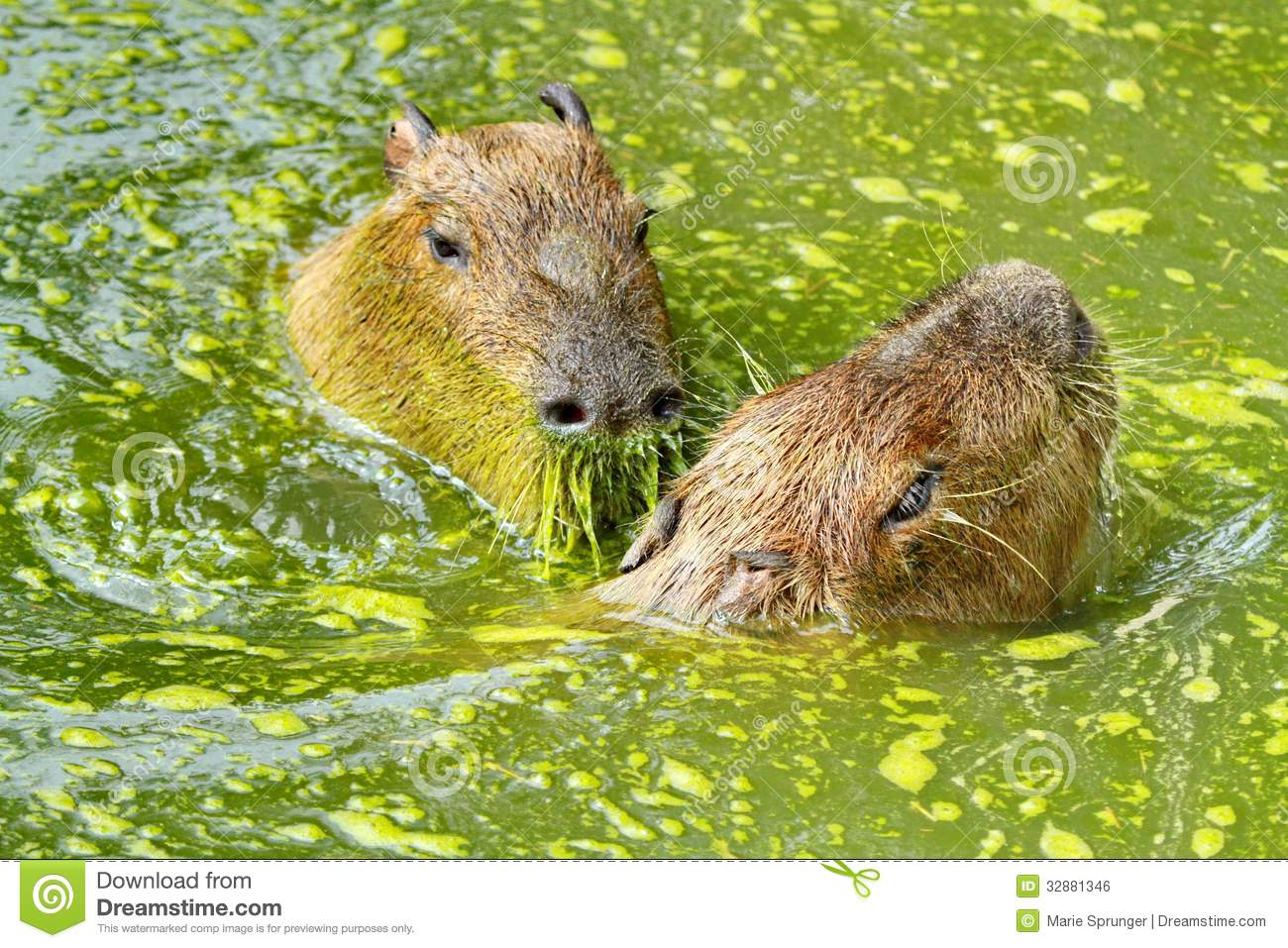 Two capybaras and water royalty free stock image image 32881346