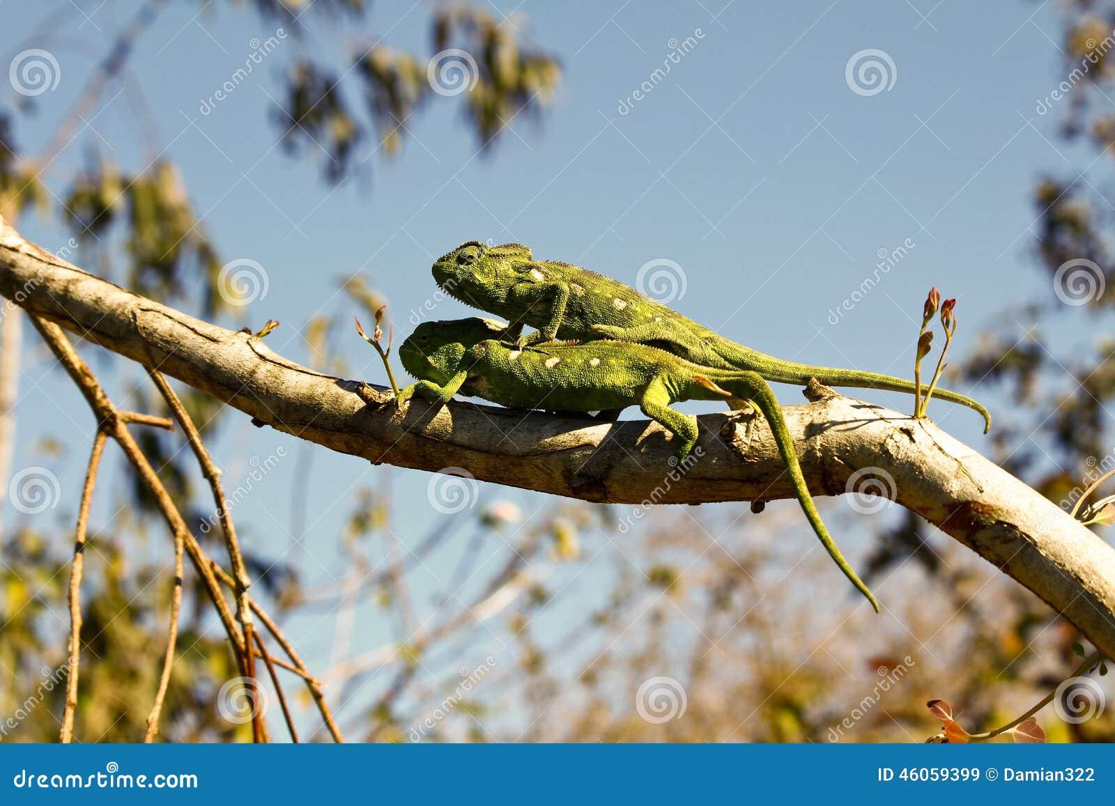 Two Carpet Chameleons (Furcifer lateralis)