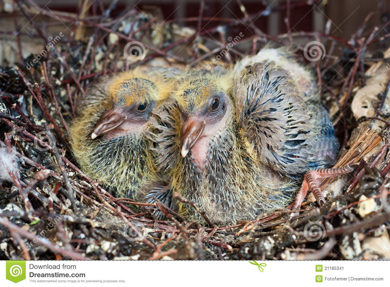 Two chicks dove in the nest