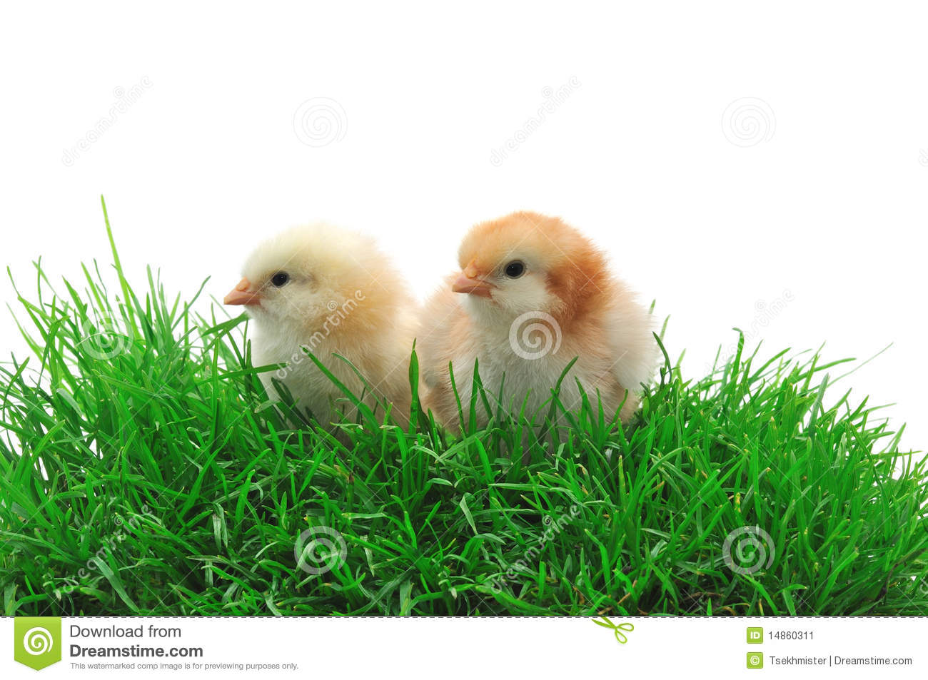 Two chicks in grass