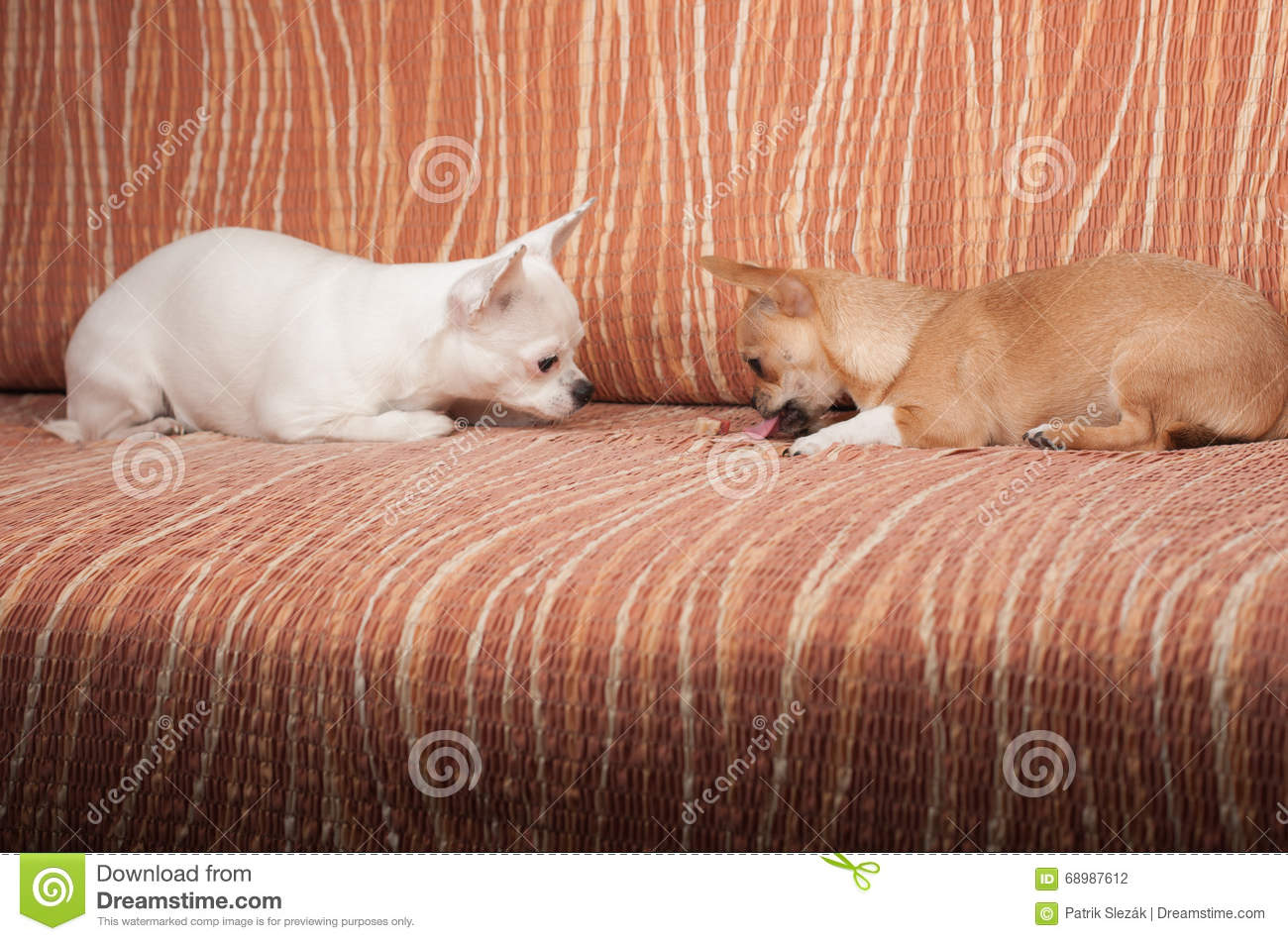 Two Chihuahua dogs lying on sofa with chewy treat