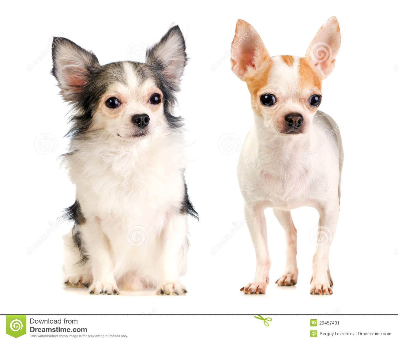 Long-haired And Short-haired Chihuahua Royalty Free Stock Photo ...