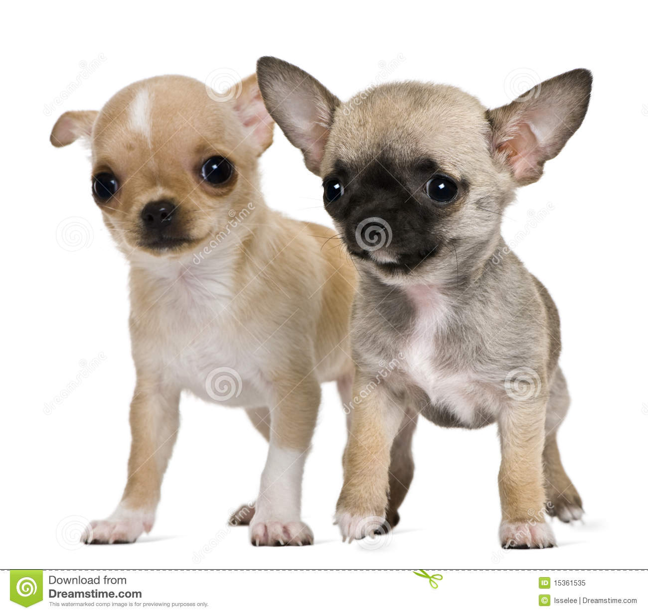 Two Chihuahua Puppies Stock Image Image Of Beige Full 15361535