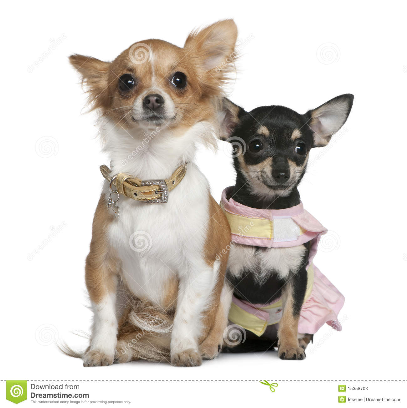 Two Chihuahuas, 6 months and 1 year old, sitting