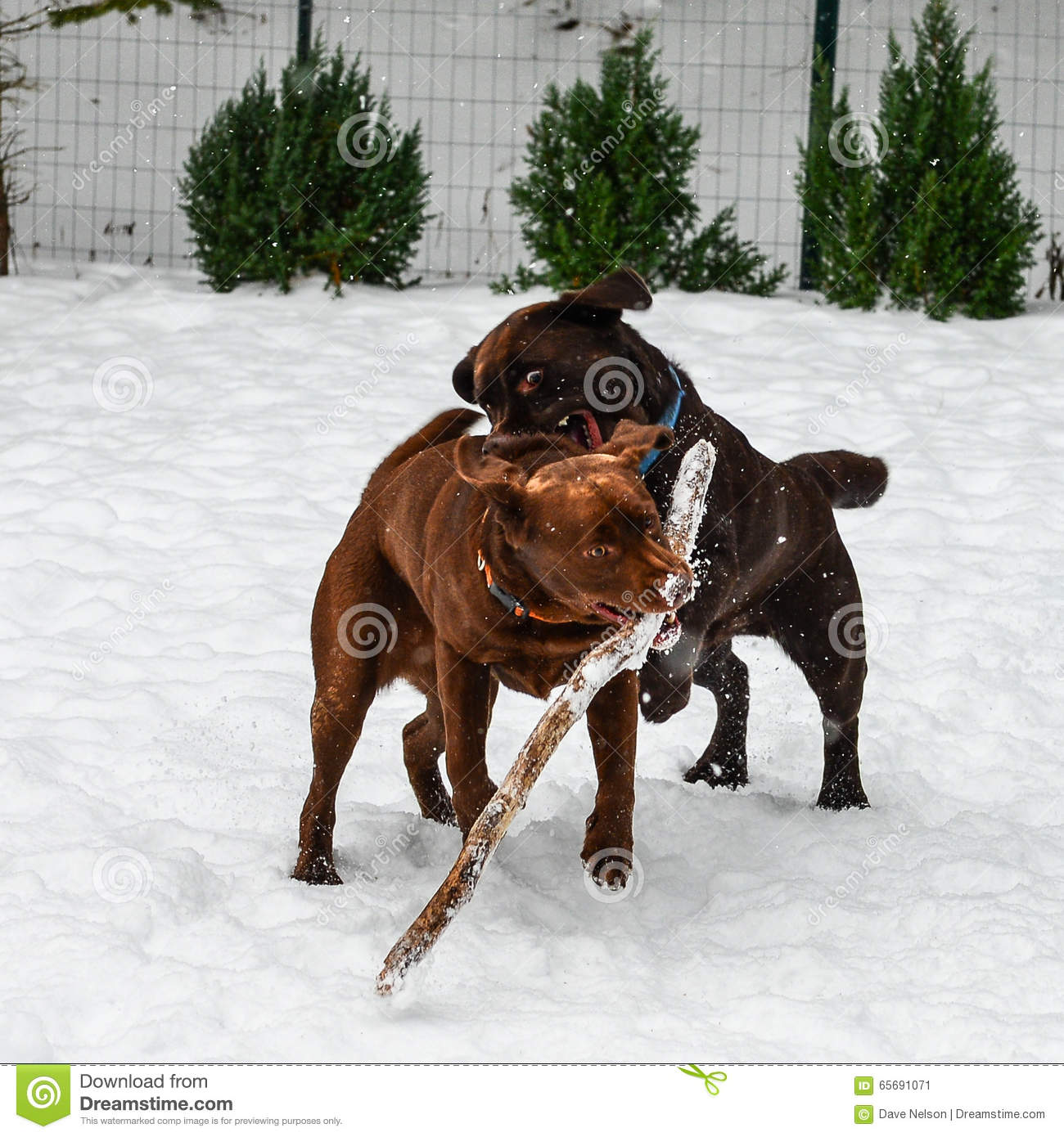 Two Chocolate Lab Dogs Playing Stock Photo - Image: 65691071