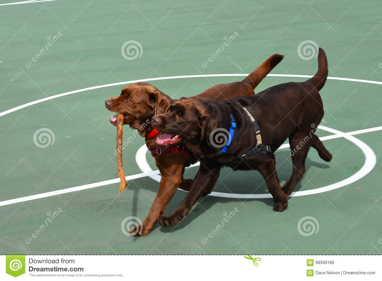 Two Chocolate Lab dogs playing