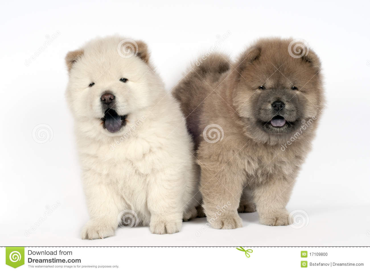 Two Chow chow puppies.