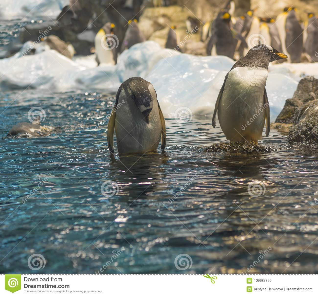 Two close up penguin standing in the blue sea water ,group of pi