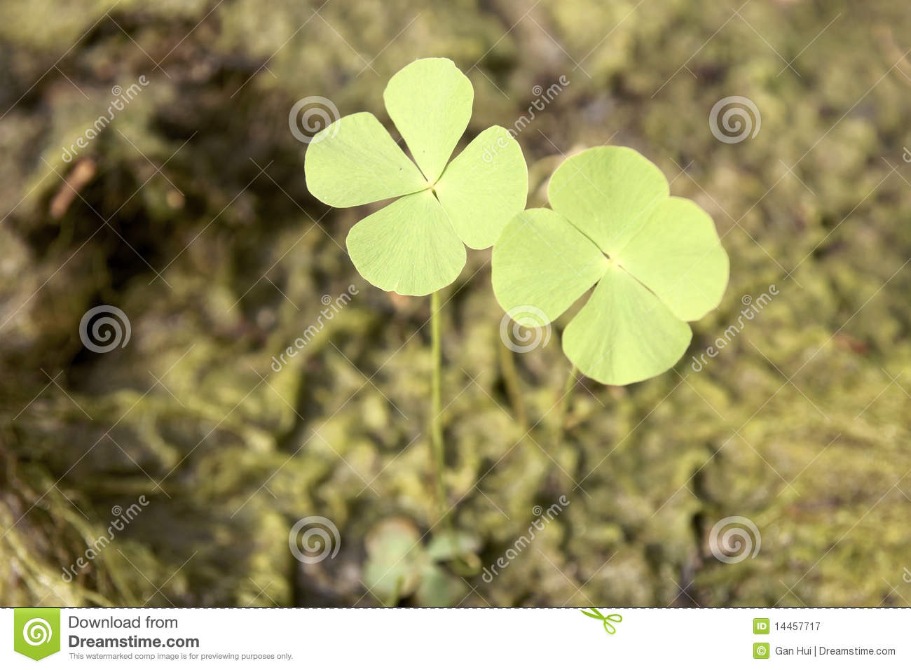 Two Clovers