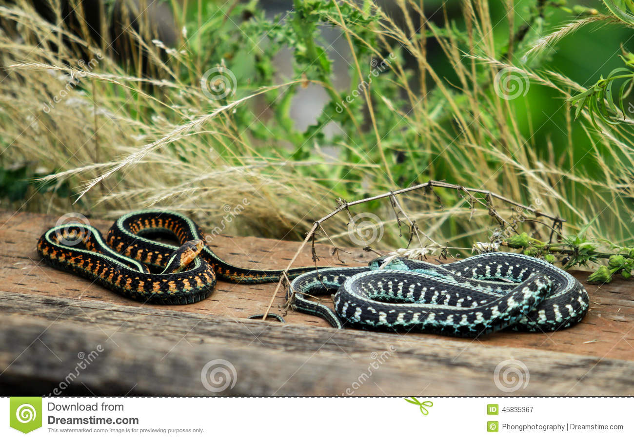 two colorful snakes stock photo image 45835367