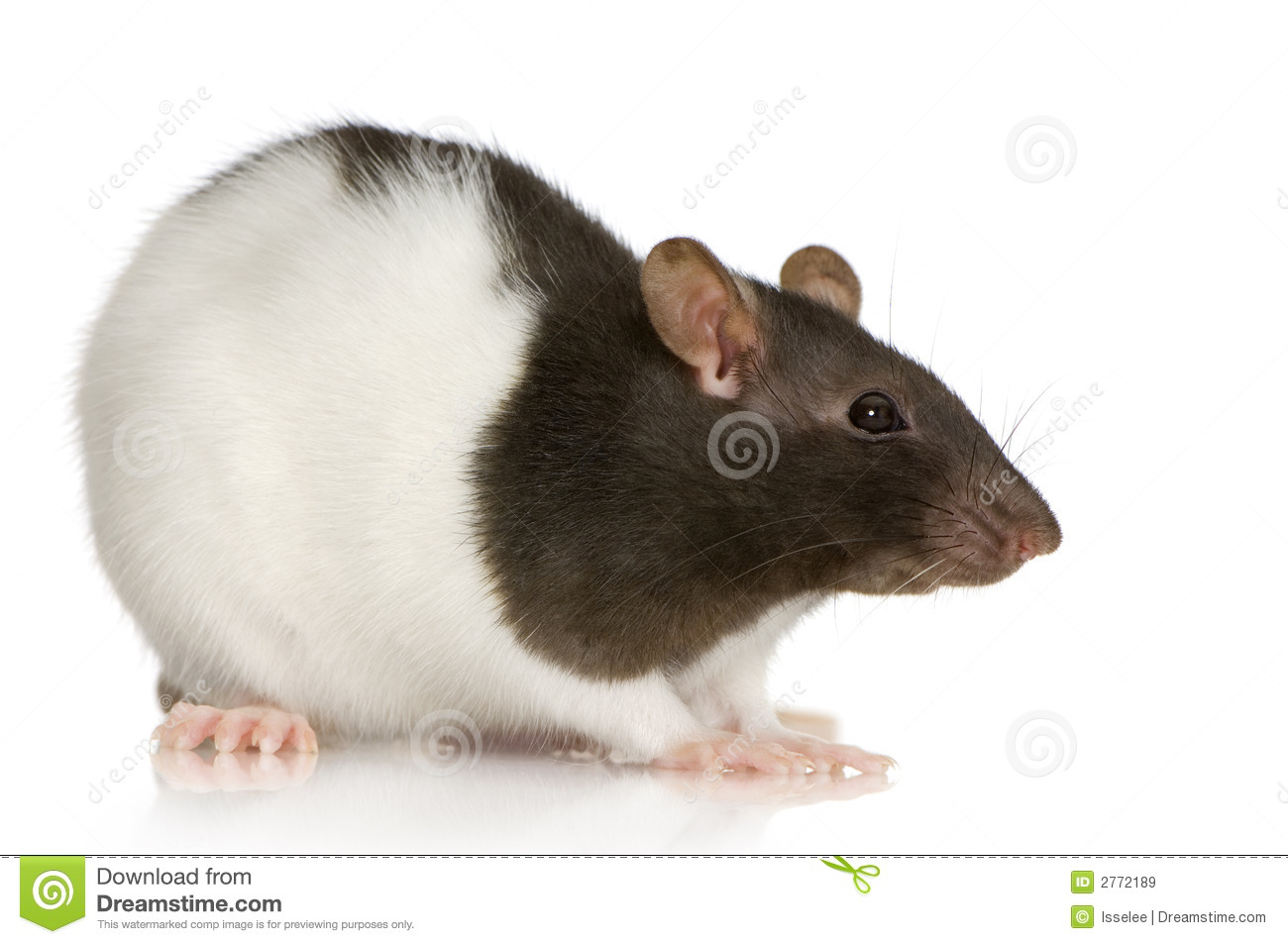 Two-coloured Panda Rat Royalty Free Stock Images - Image ...
