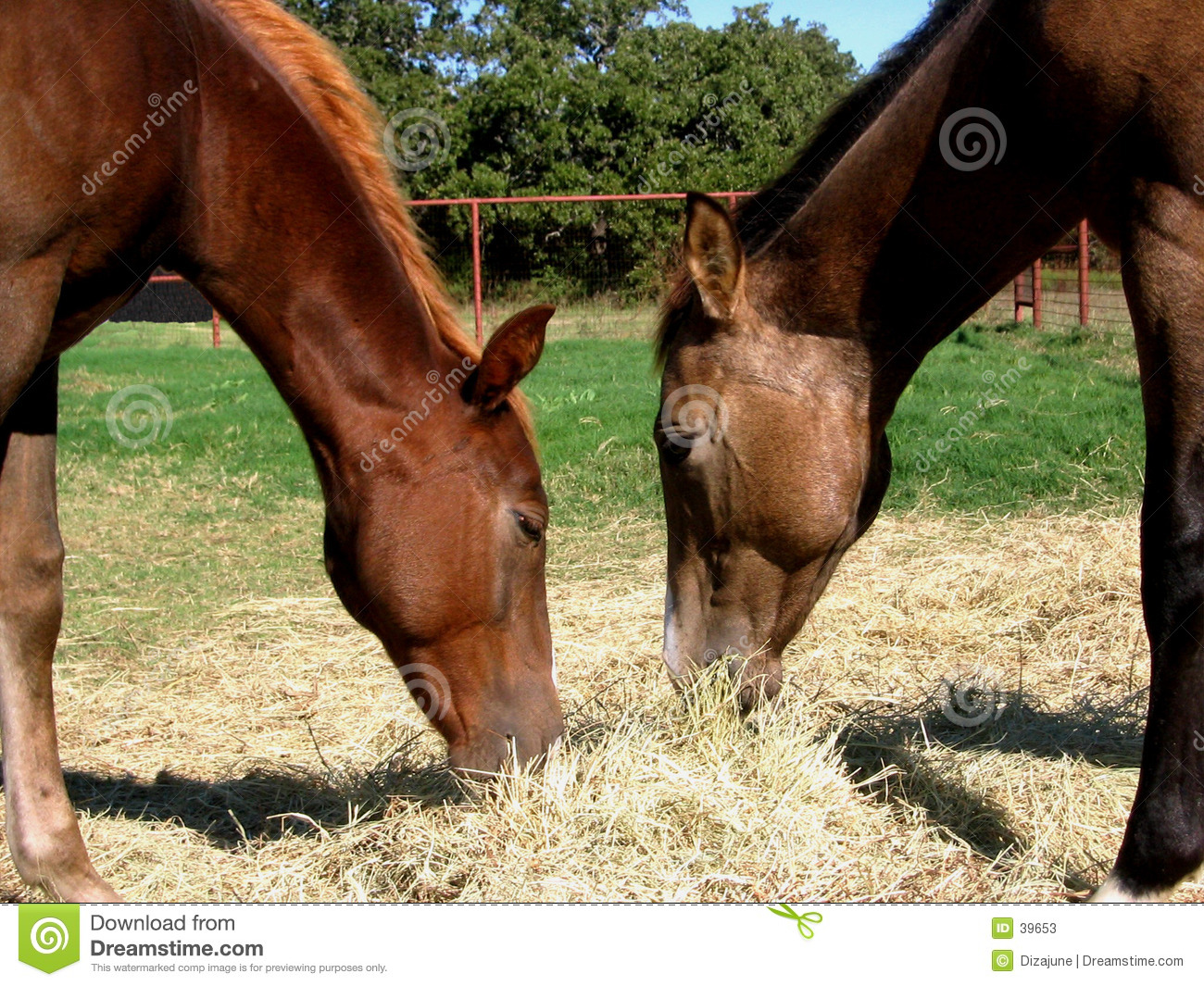 Two Colts Eating Hay