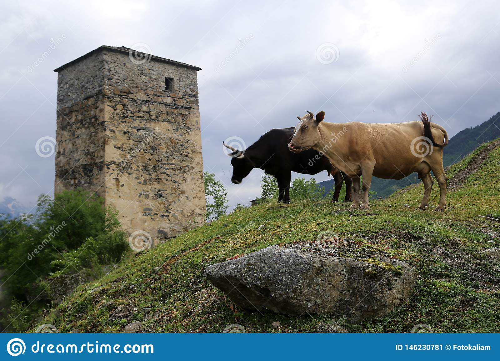 Two cows on a hillside, against the backdrop of the Svan tower