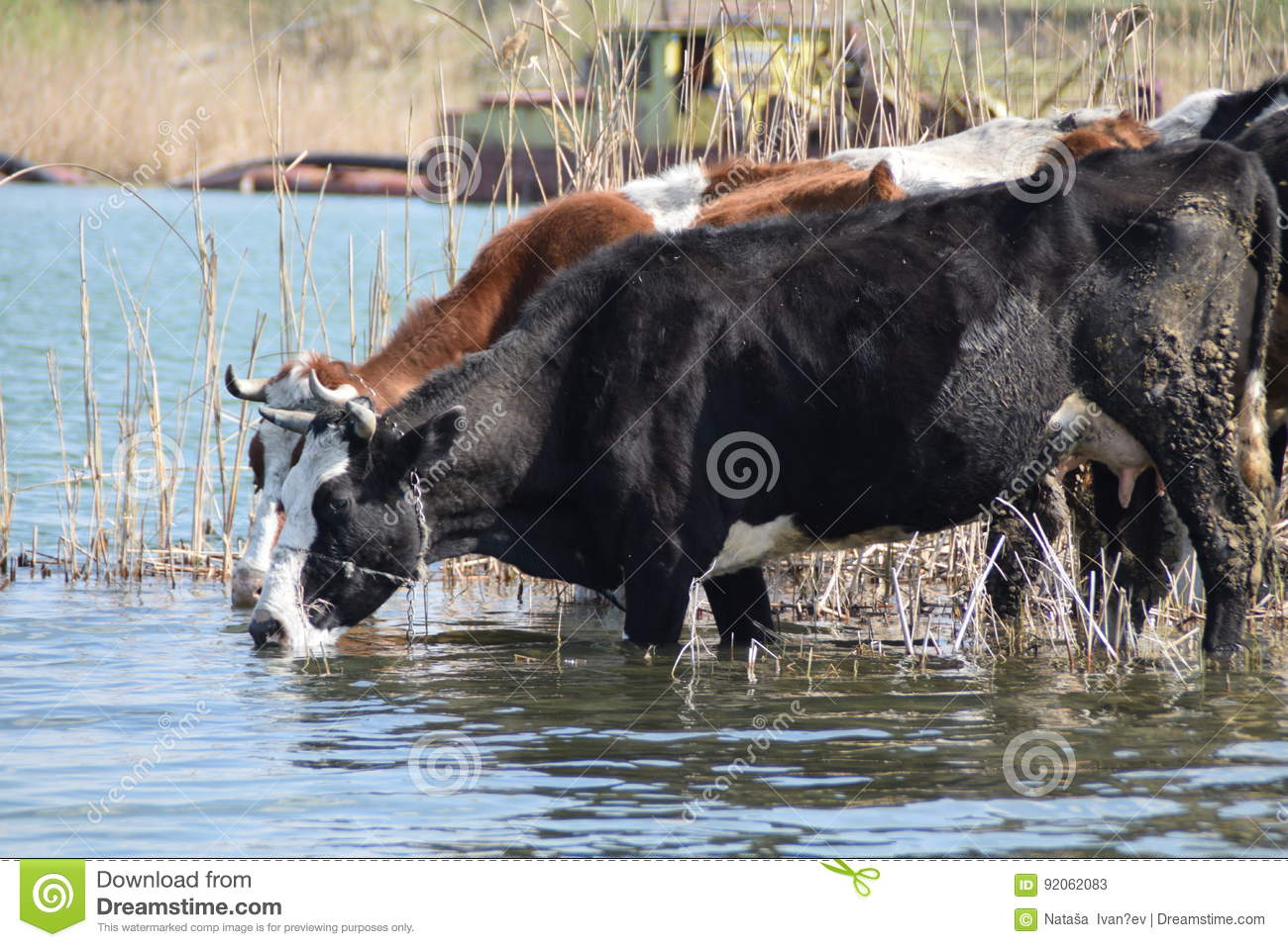 Two cows on the watering hole surrounded by reeds, with a sand dredging boat working in the background