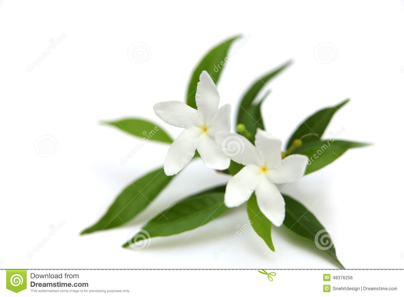 Two Crape Jasmine Flowers Stock Photo Image Of Pink 48376256