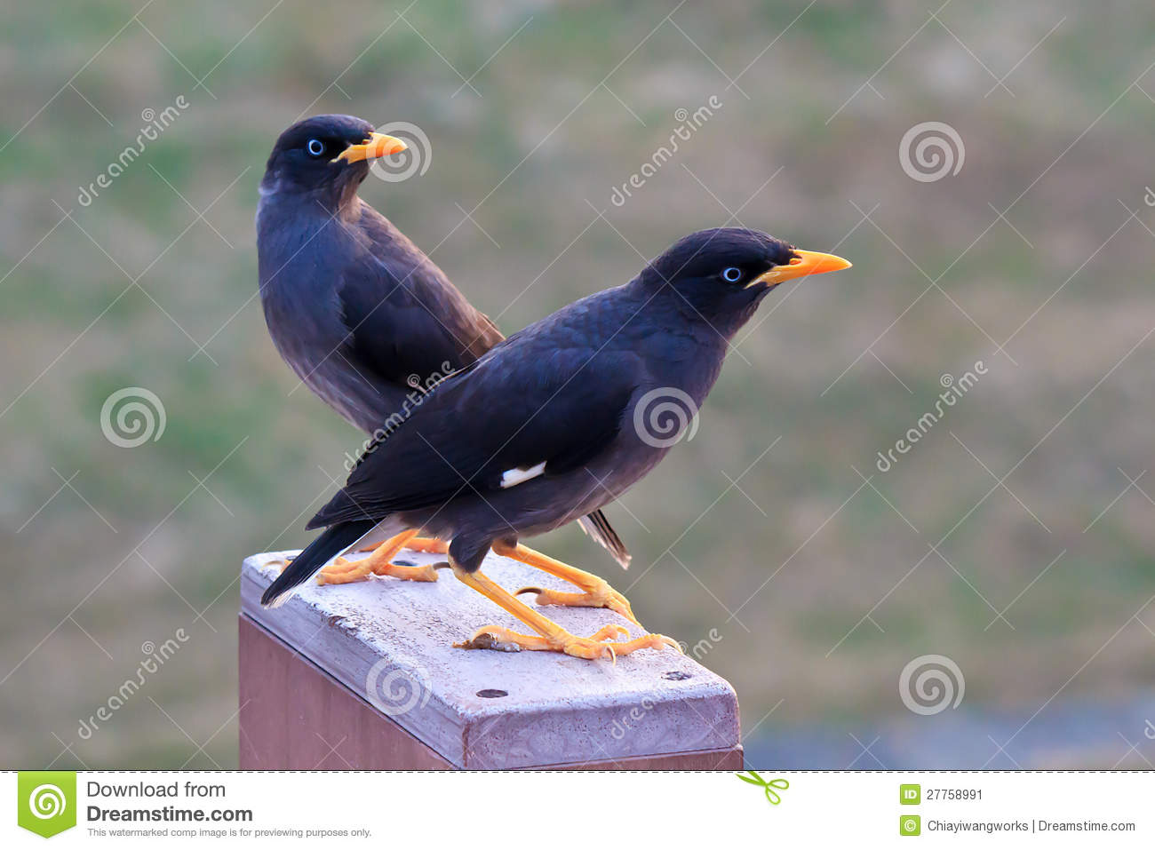 The two Crested Myna birds stock image. Image of colorful ... - photo#37