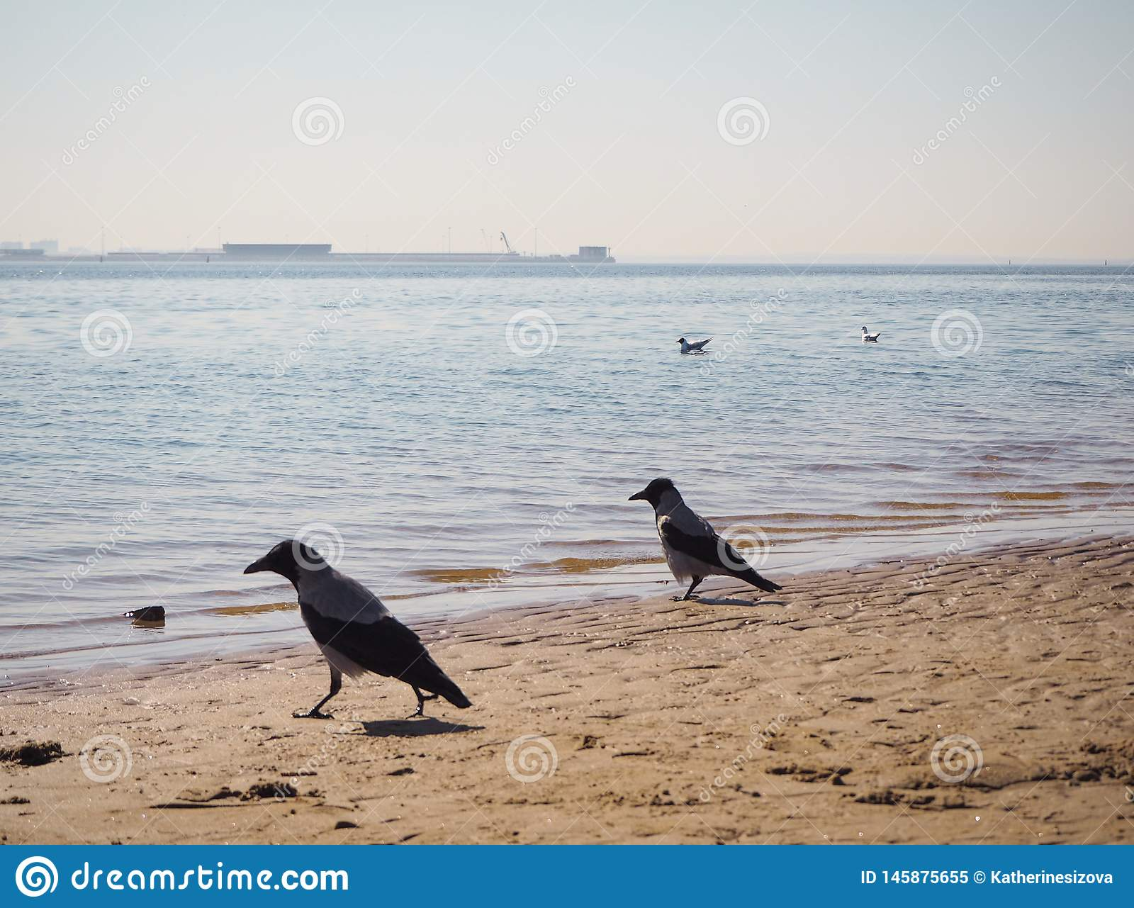 Two crows are walking on the beach