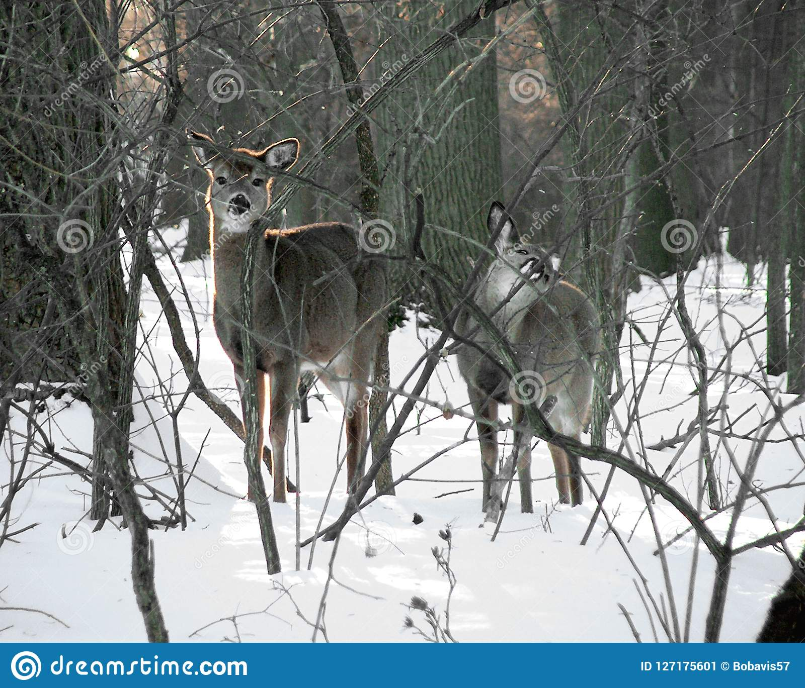 Two Curious Deer In The Snow At Valley Forge