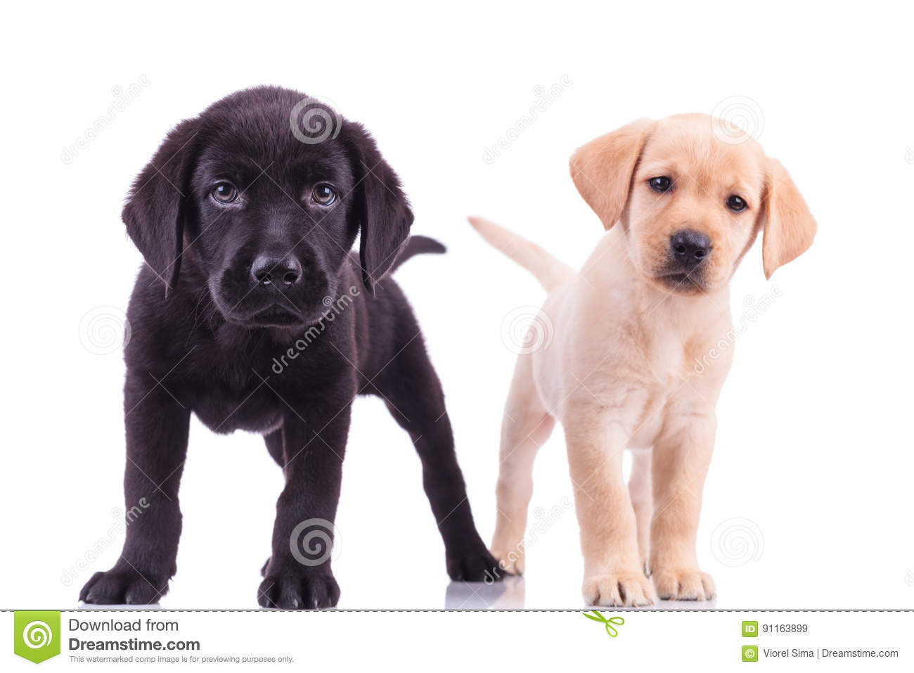 Two curious little labrador retriever puppies standing