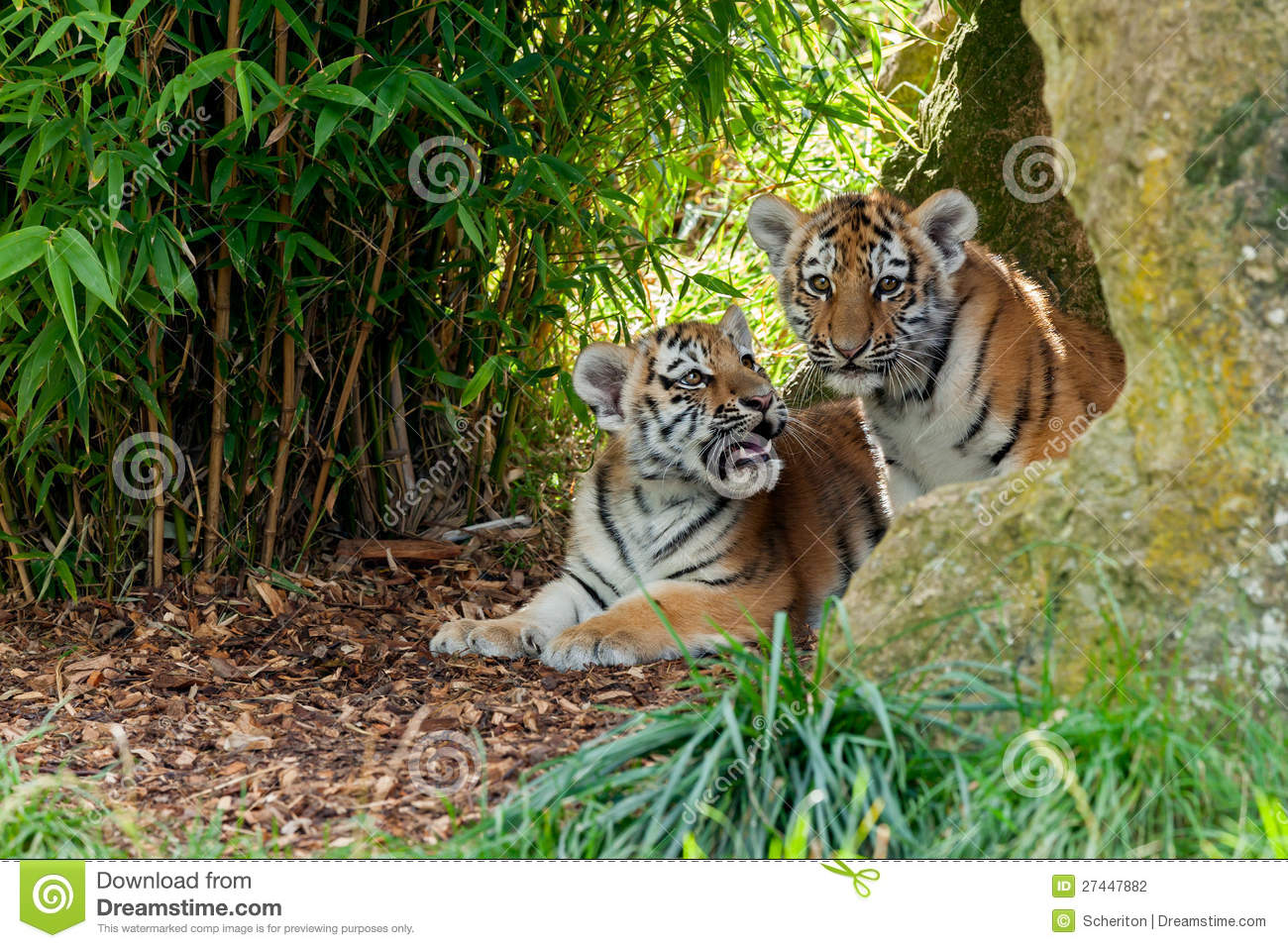 Two Cute Amur Tiger Cubs In Rocky Shelter Stock Photo ... Cute Siberian Tiger Cubs