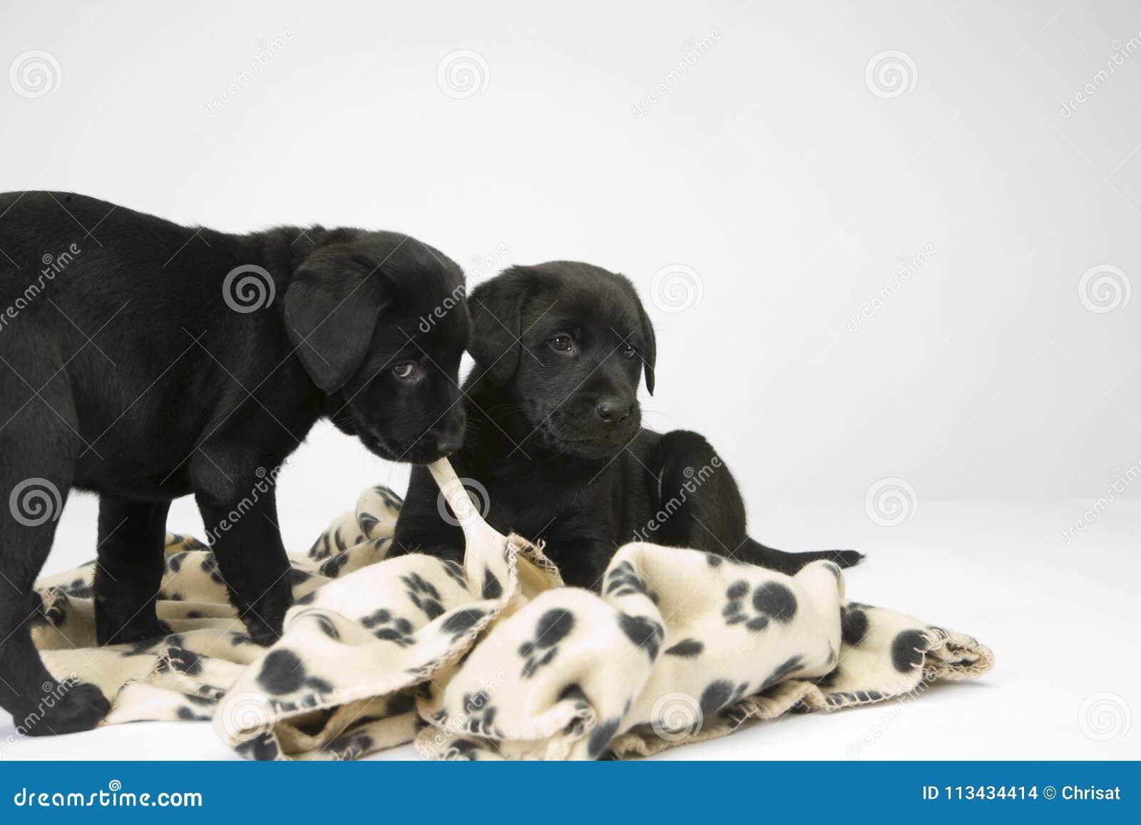 Black Lab Puppies On White Seamless Stock Photo Image Of Seamless Kw0p 113434414